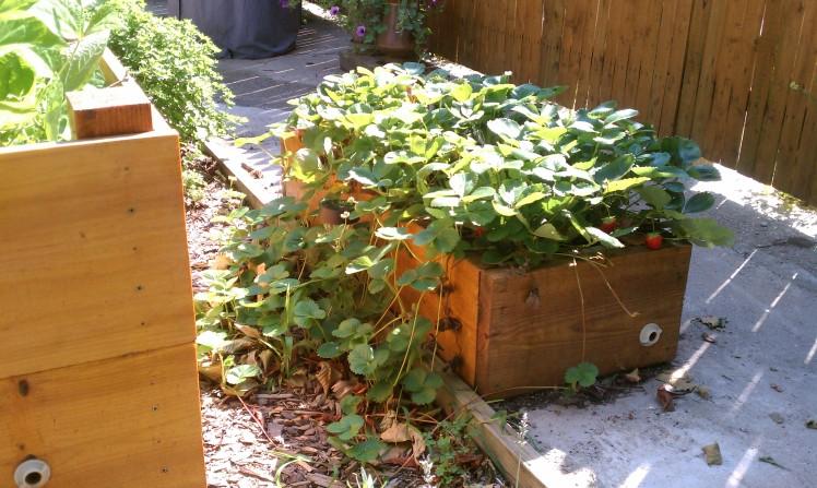 Strawberry box, summer 2011