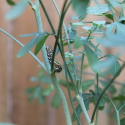 Black swallowtail caterpillar on rue... looking at me?
