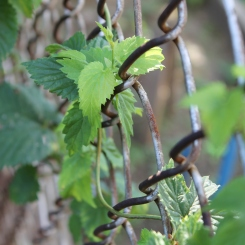 Hops growing along chain link fence