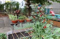 The last of the Thai red chili peppers