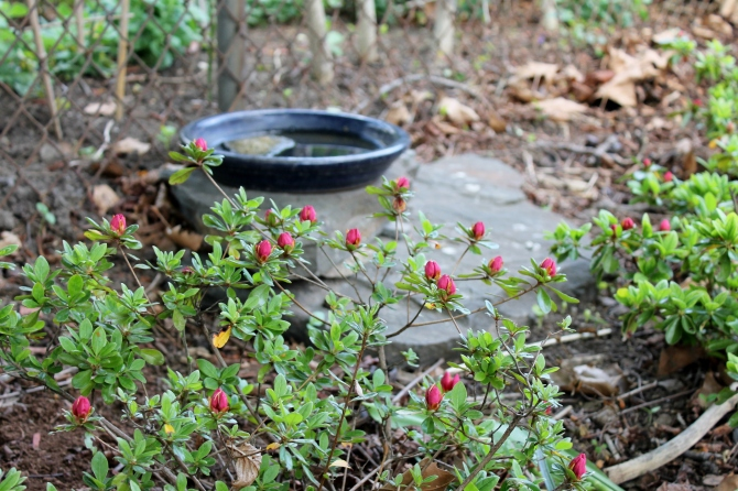 azalea and bird bath