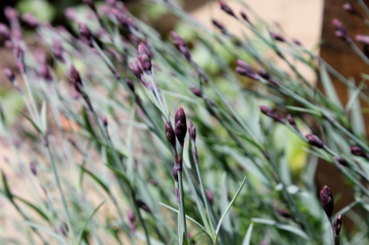 dianthus buds