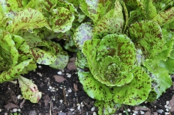 Speckled lettuce