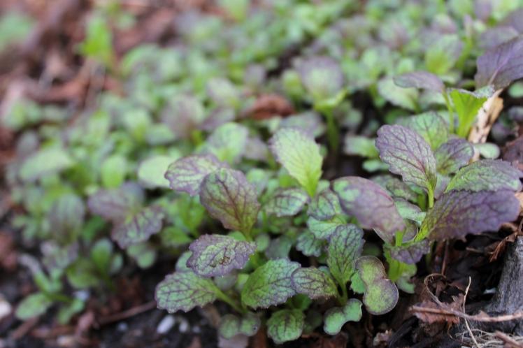 Mustard seedlings