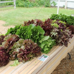 Market lettuce